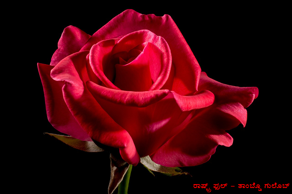 Konkan National Flower Red Rose